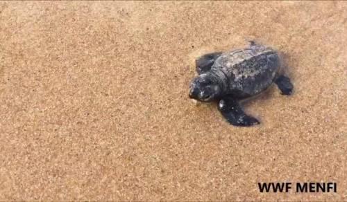 Immagine: Menfi, nate 62 tartarughe Caretta caretta